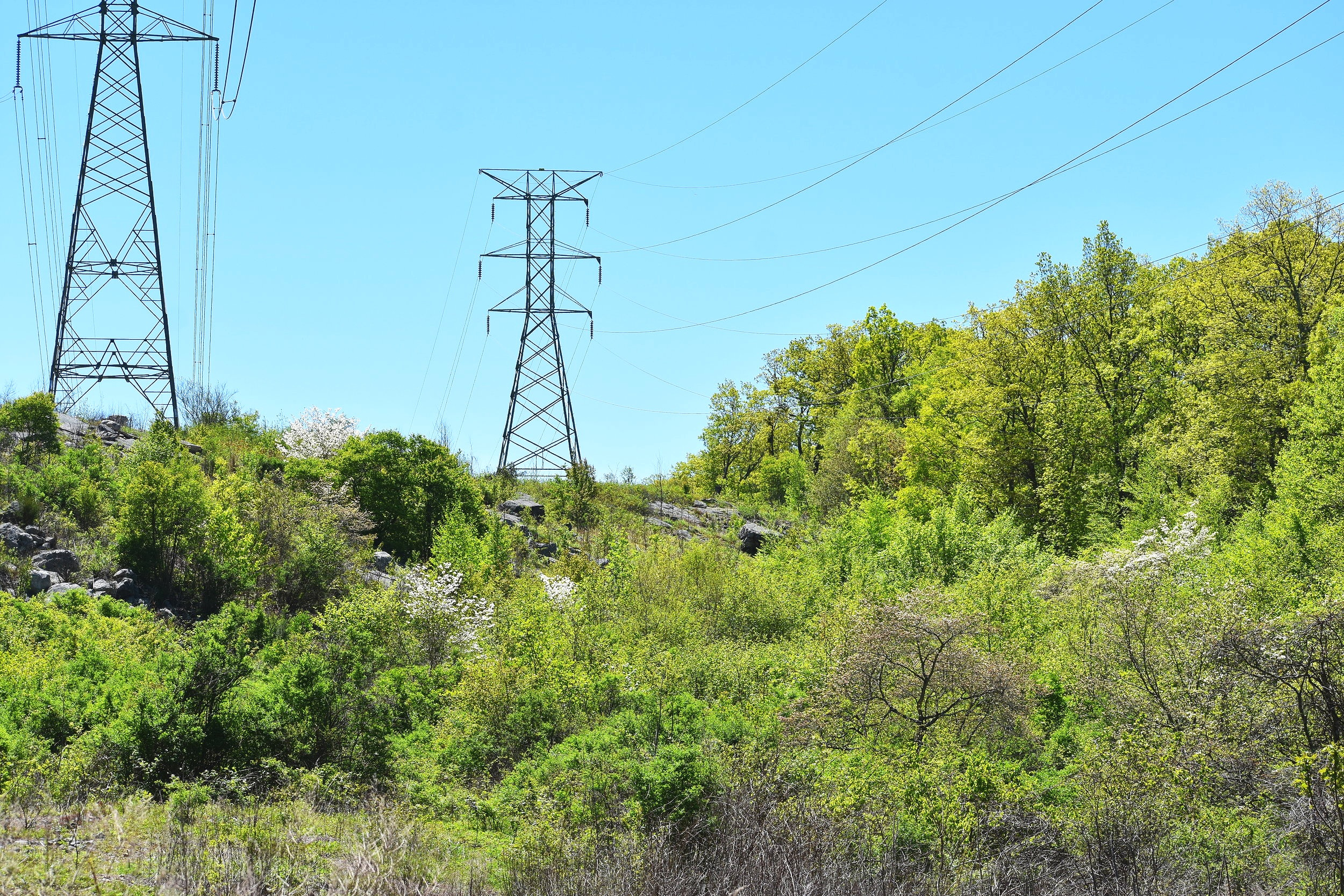 Golden Winged Warbler are most frequently found in shrubby, regenerating areas near forest - such as this powerline cut