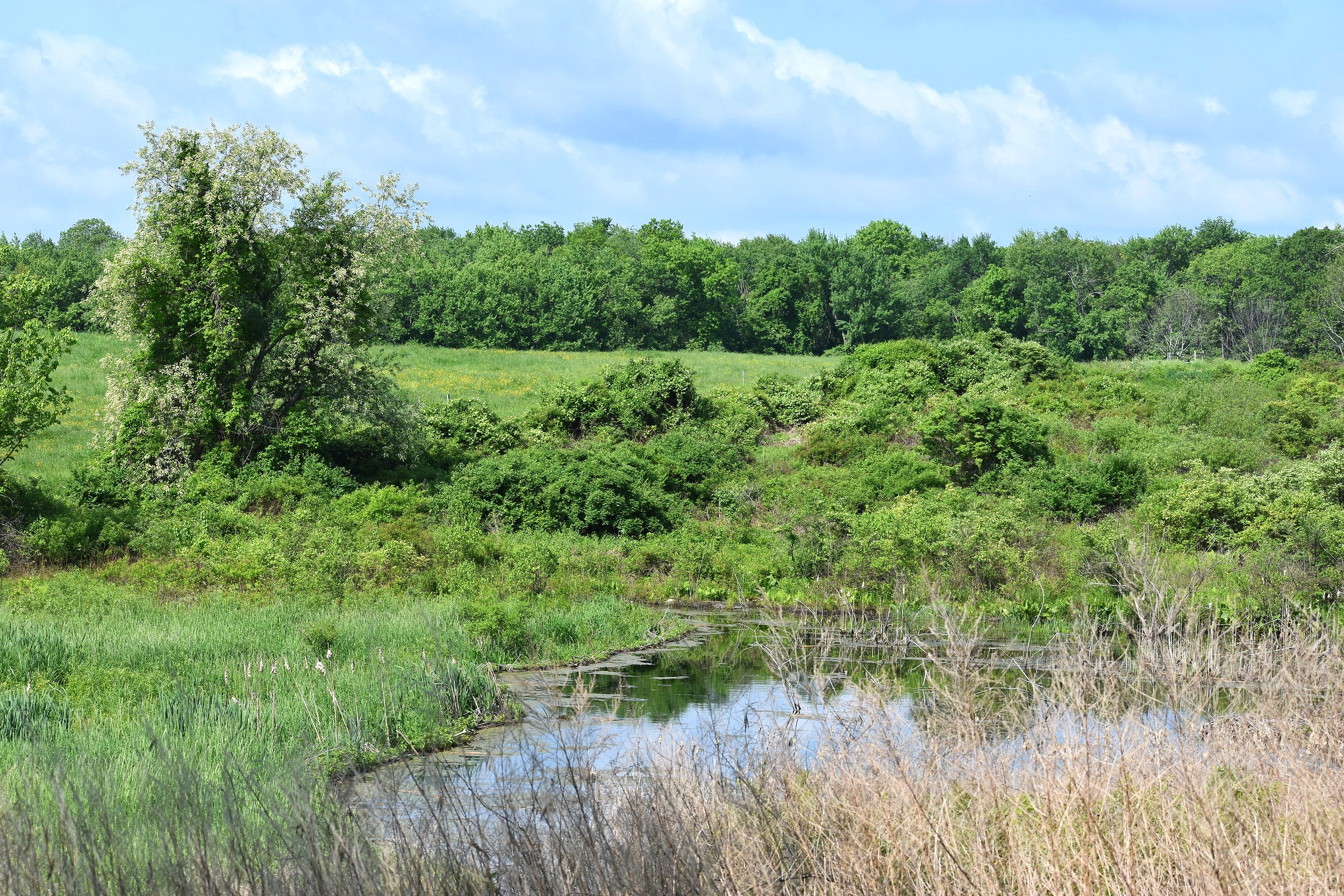 Another example of Golden Winged Warbler habitat - shrubby, relatively open area in close proximity to forest habitat