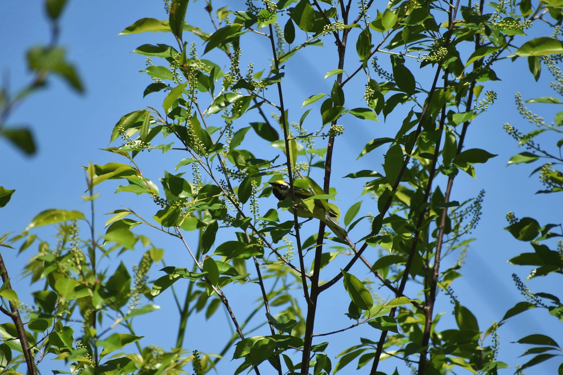 Golden Winged Warbler in young Wild Black Cherry tree