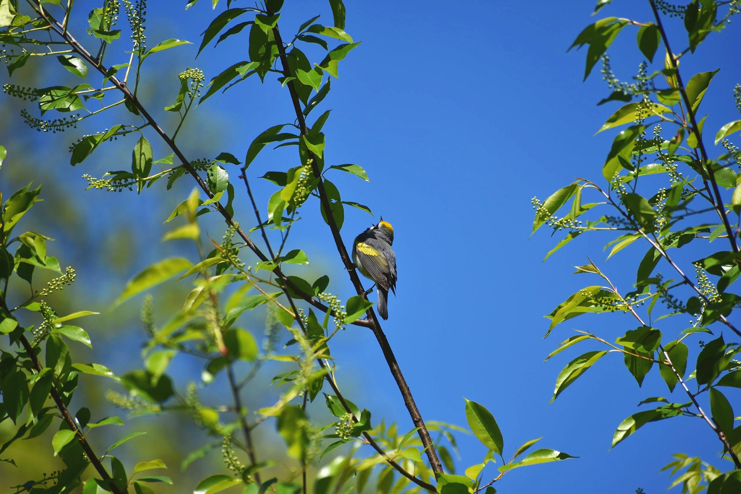 Golden Winged Warbler Singing
