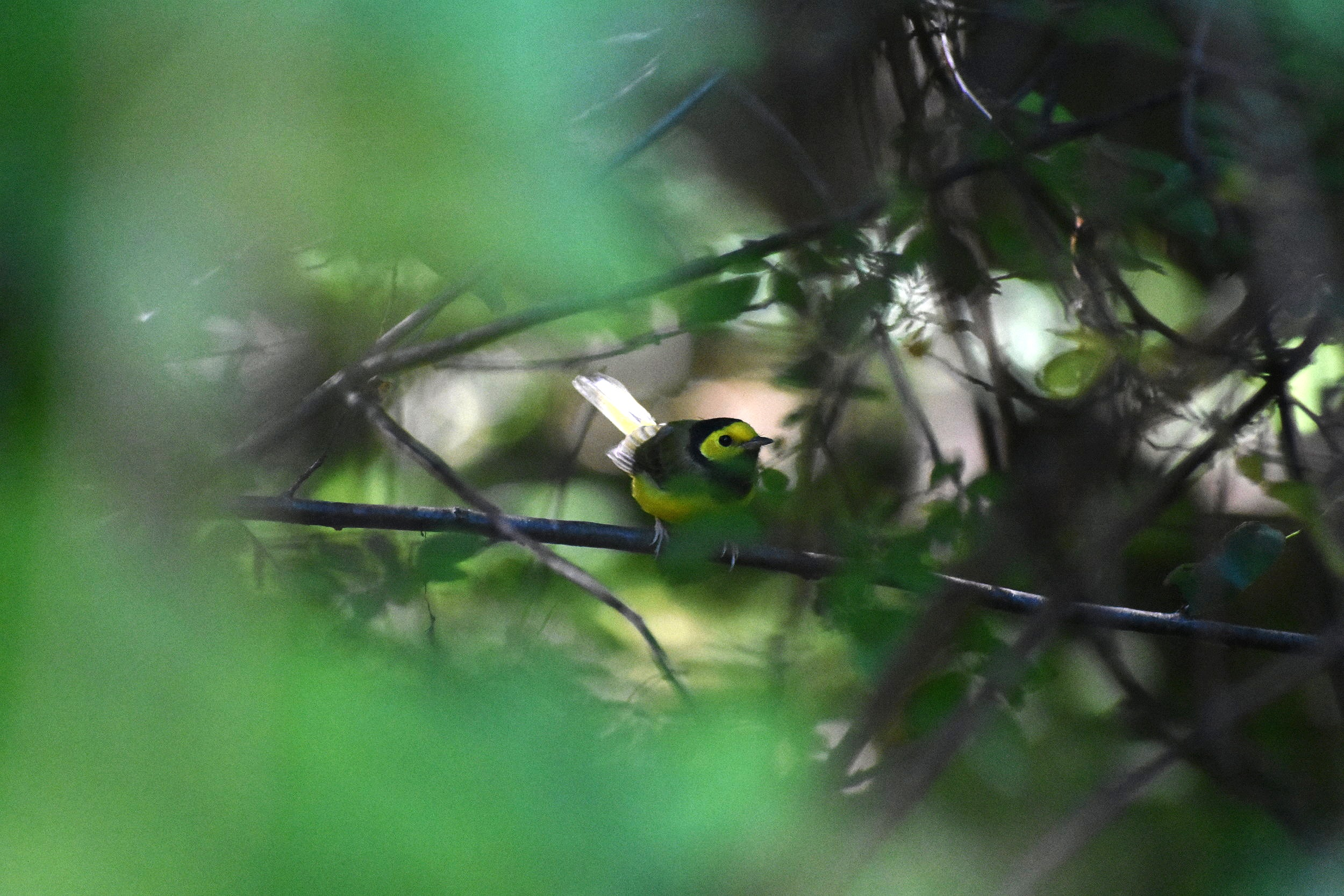 Hooded Warbler are often observed partially hidden and relatively low in thick understory