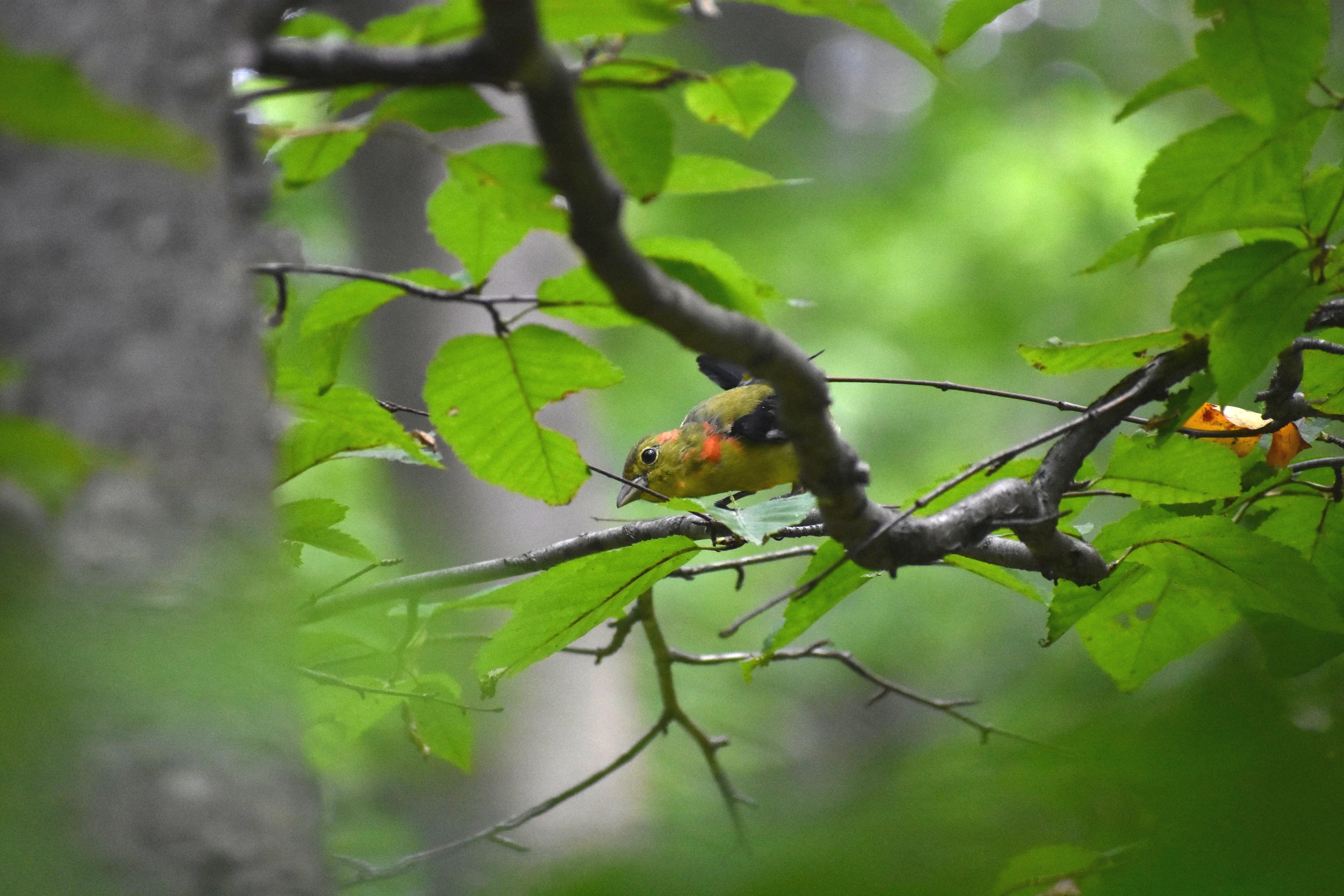 Motling Scarlet Tanager - note hints of scarlet color near neck and head