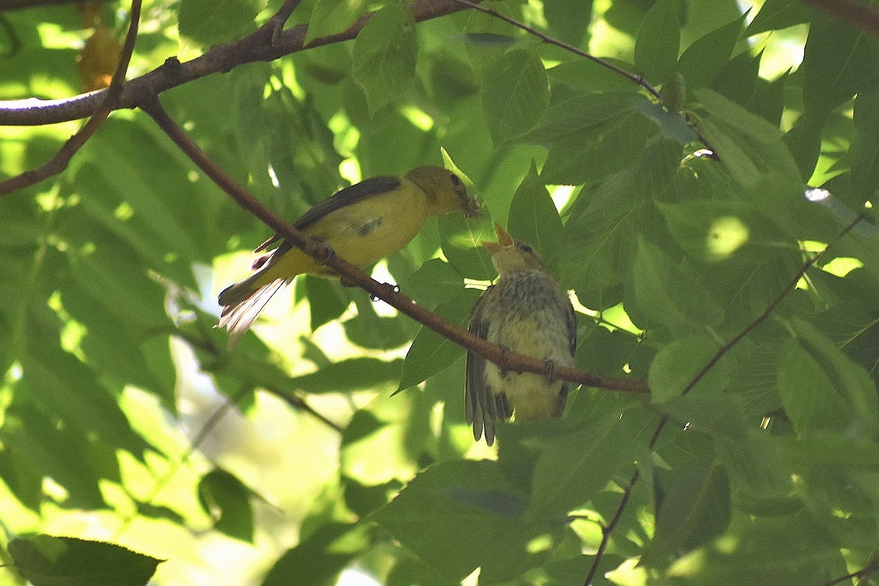Female Scarlet Tanager feeding her young