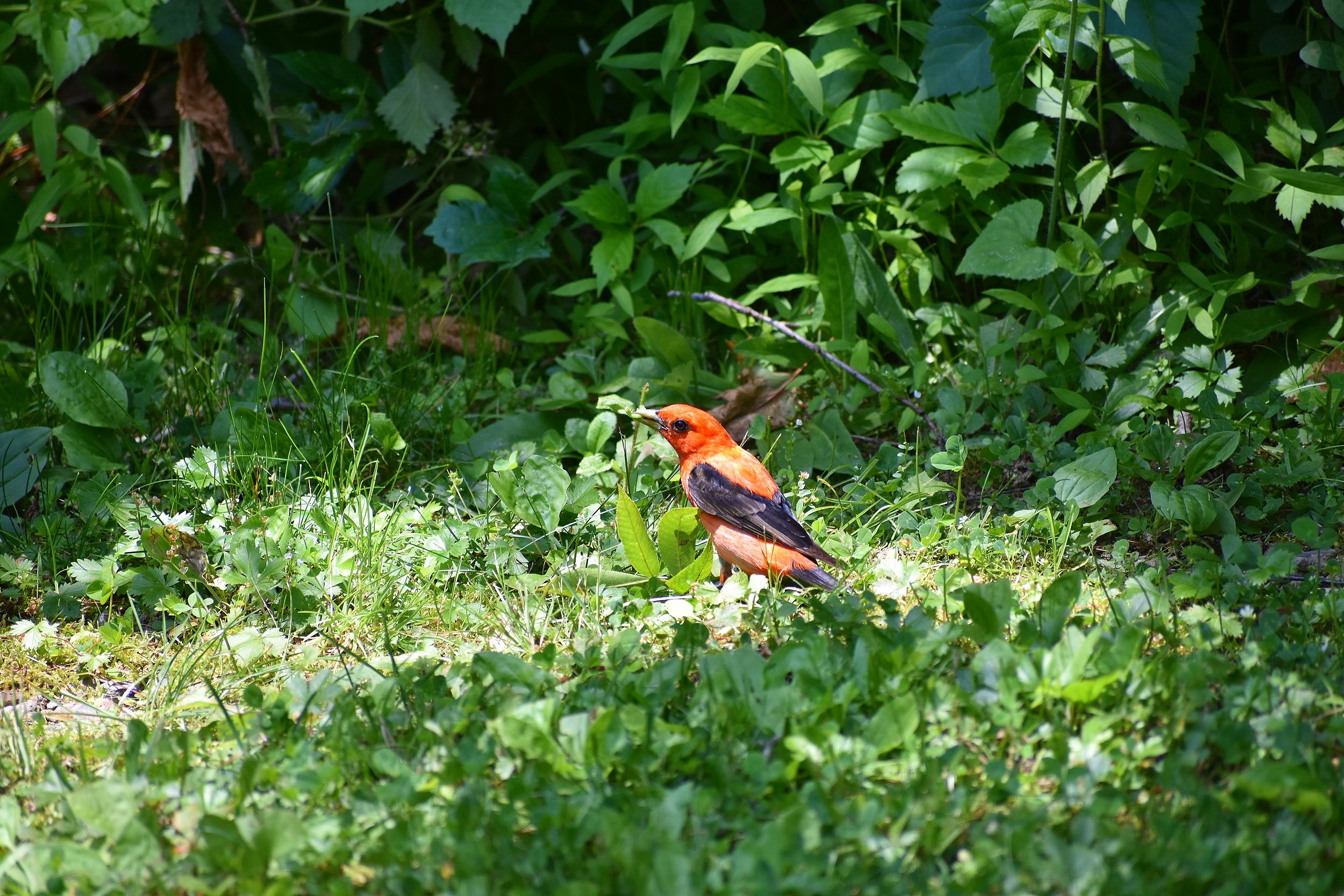 Scarlet Tanager feeding on the ground