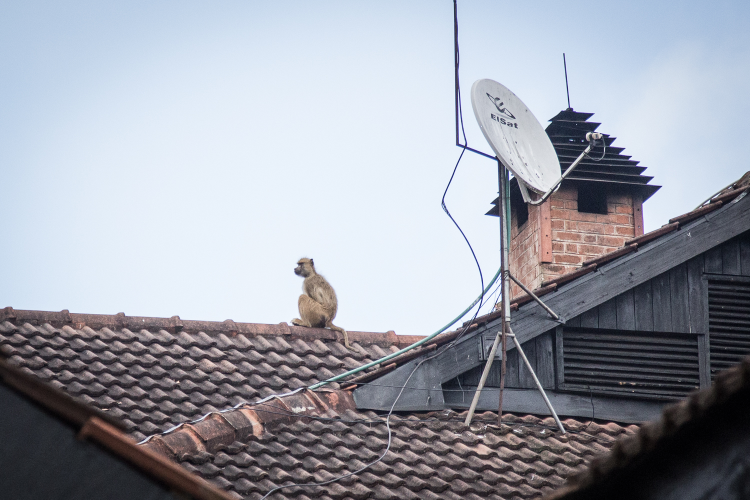 A baboon sits on top of a hotel at the start of our plateau hike.