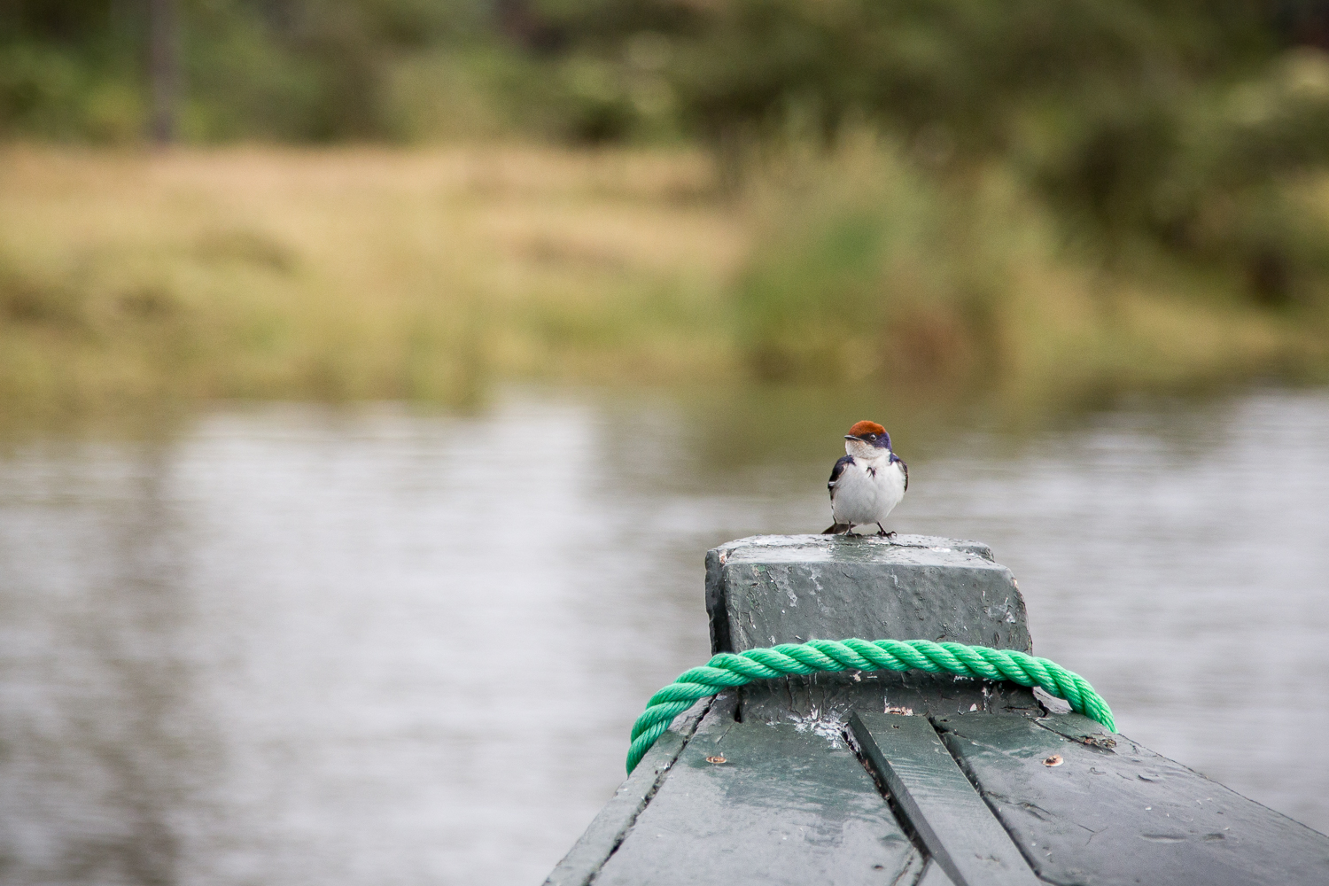 Not sure what kind of bird this is. Let's call it a Red Capped Boatrider