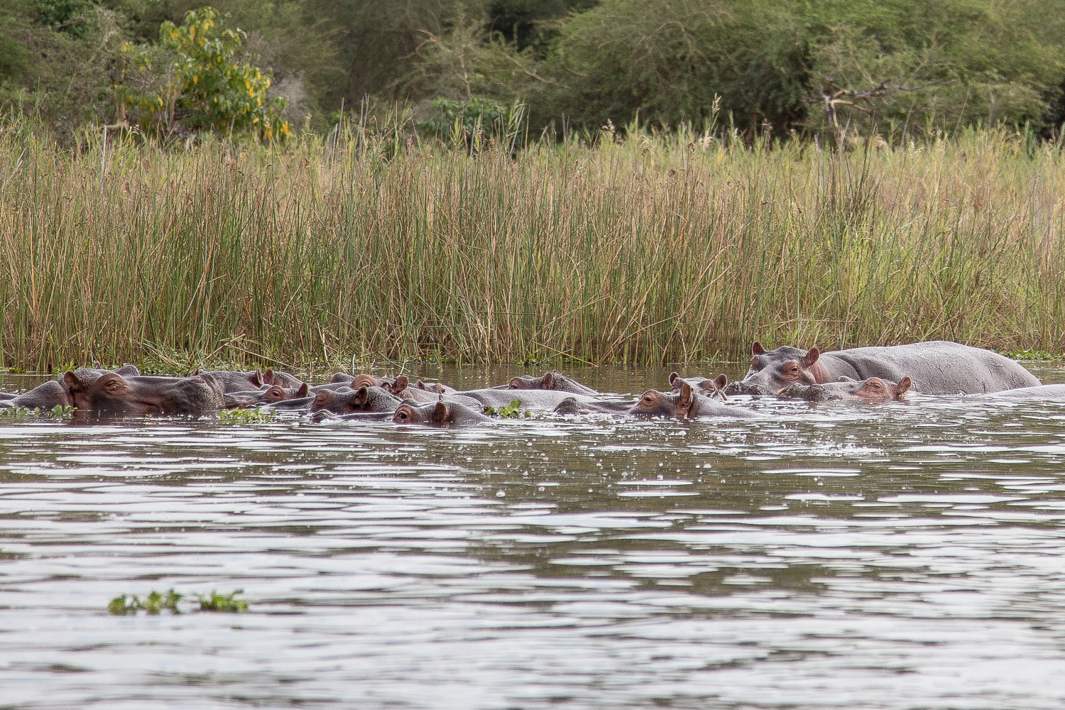 "Hippos sound like giants laughing in slow motion after hearing a very bad ""dad joke."""