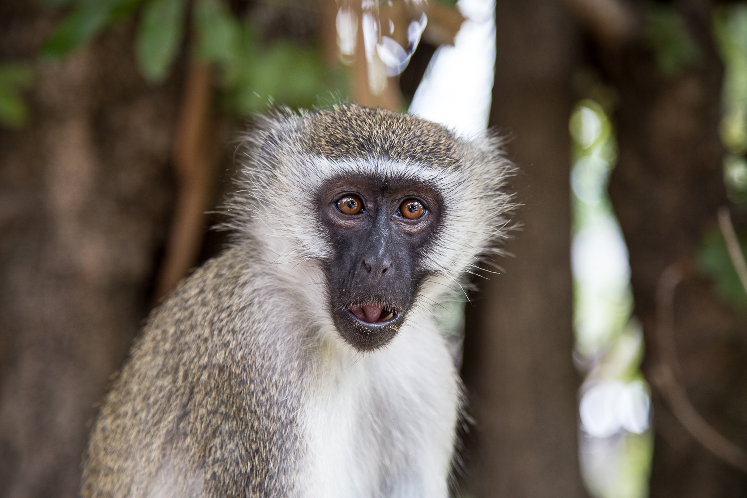 This Vervet monkey stole muffins off of the tables at Mvuu Camp, no matter how hard you tried to scare him away.