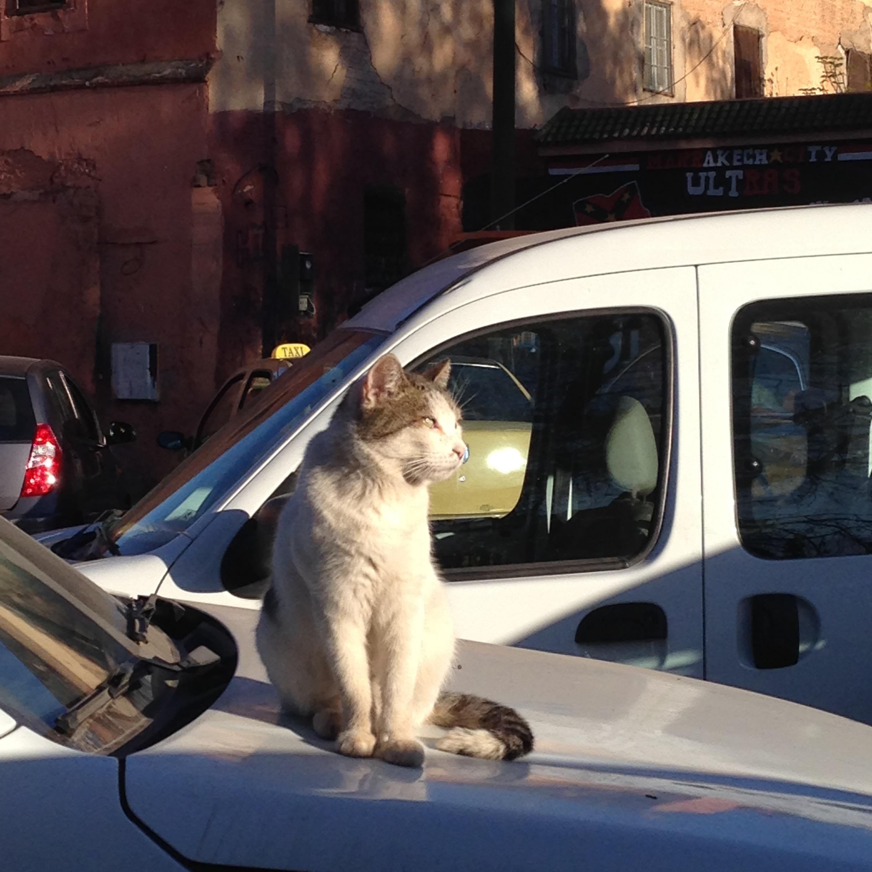 Cats of Marrakesh