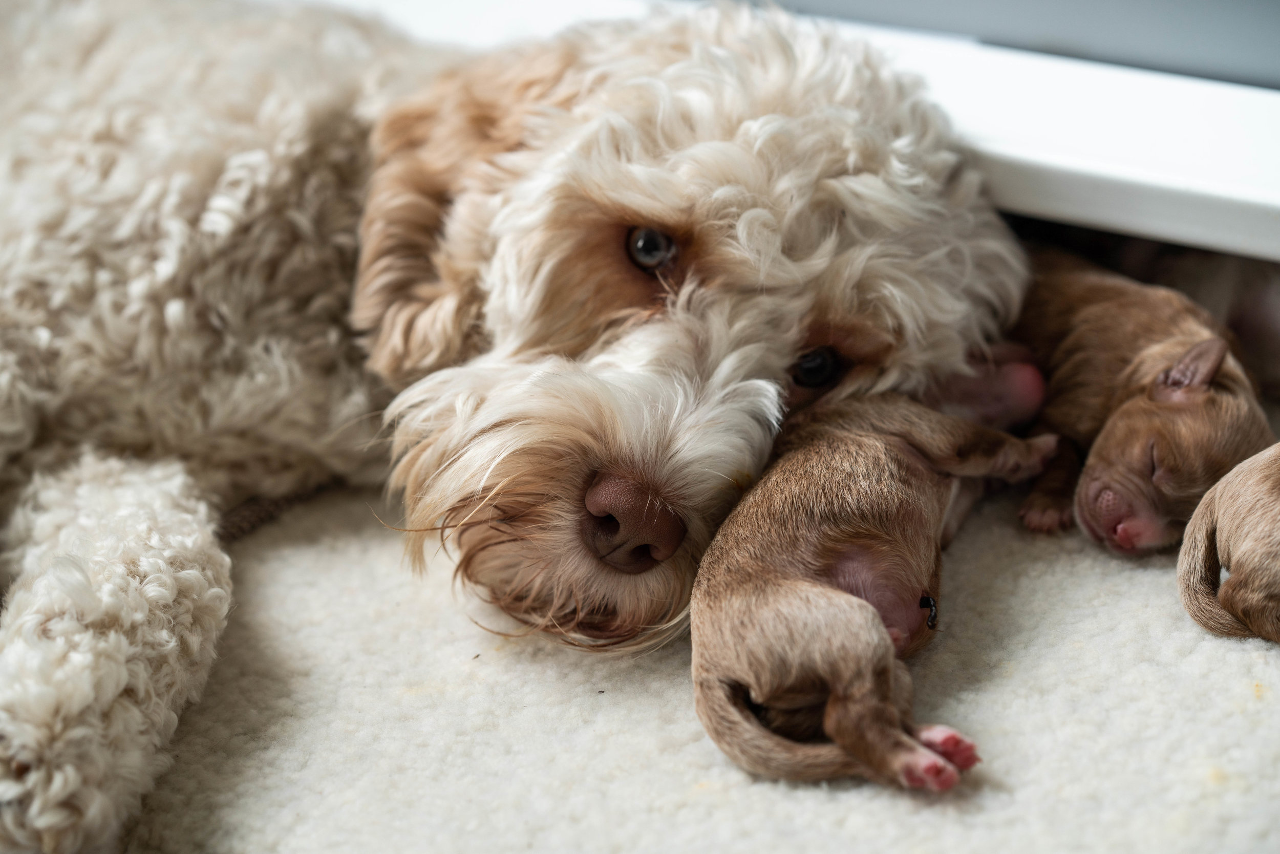 Litters Australian Labradoodles — Sprucetree Labradoodles