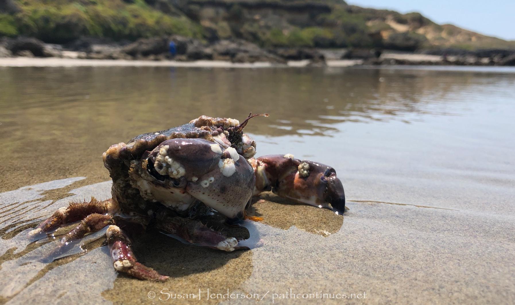 crusty old crab.jpg