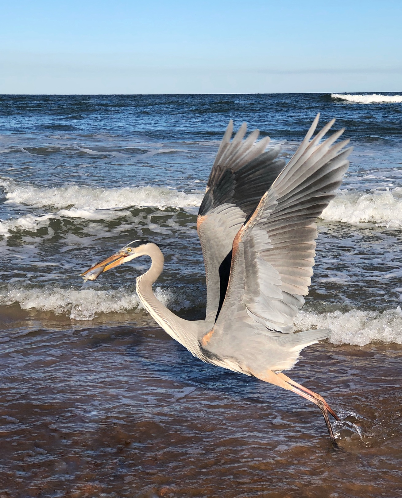 Great Blue Heron catching dinner