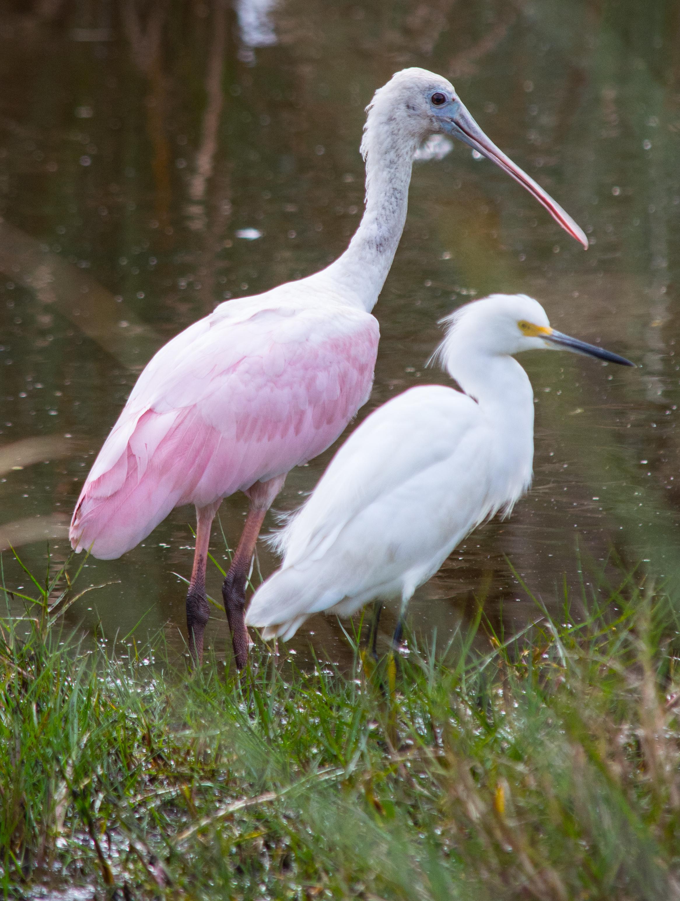 Roseate Spoonbill & Snowy Egret
