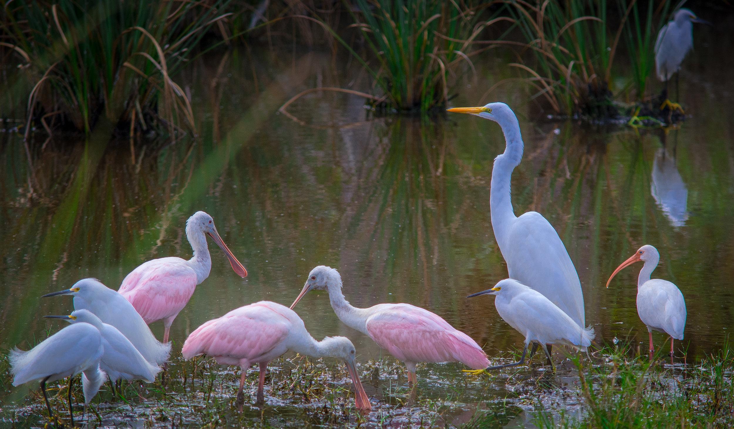 Snowy Egrets, Roseate Spoonbills, Great Egret