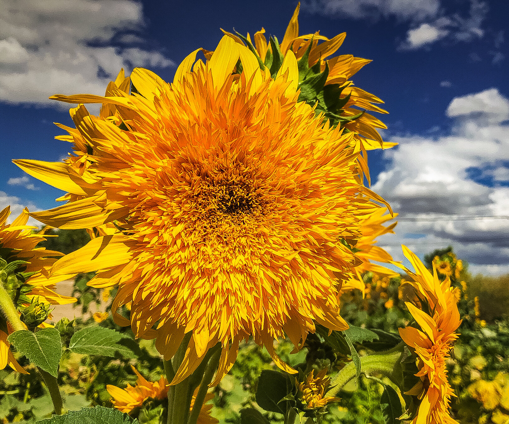 Sunflowers grace the beautiful and productive certified organic garden that Jaime and Kevin have created. Two Ravens Farm, a wonderful new addition to Nevada Grown's network.