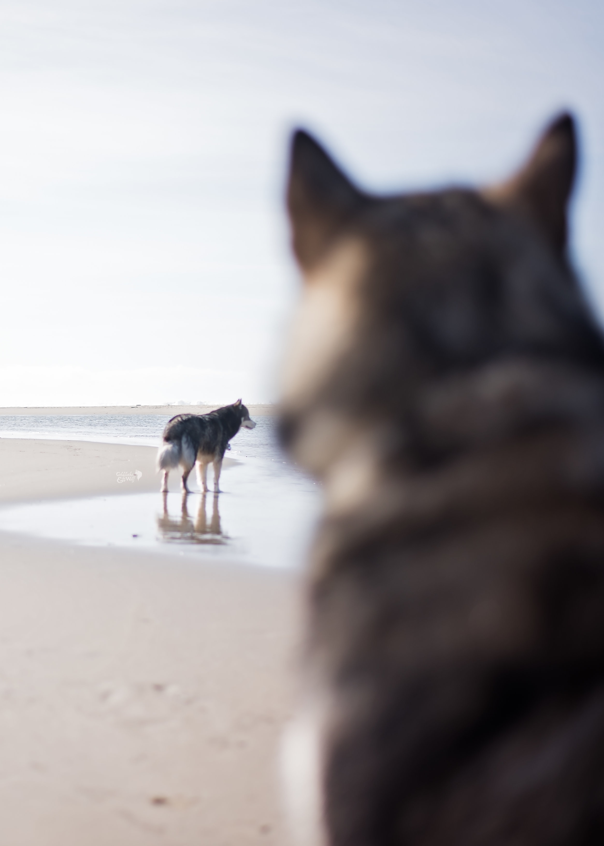Valley the malamute observing Kyro from afar