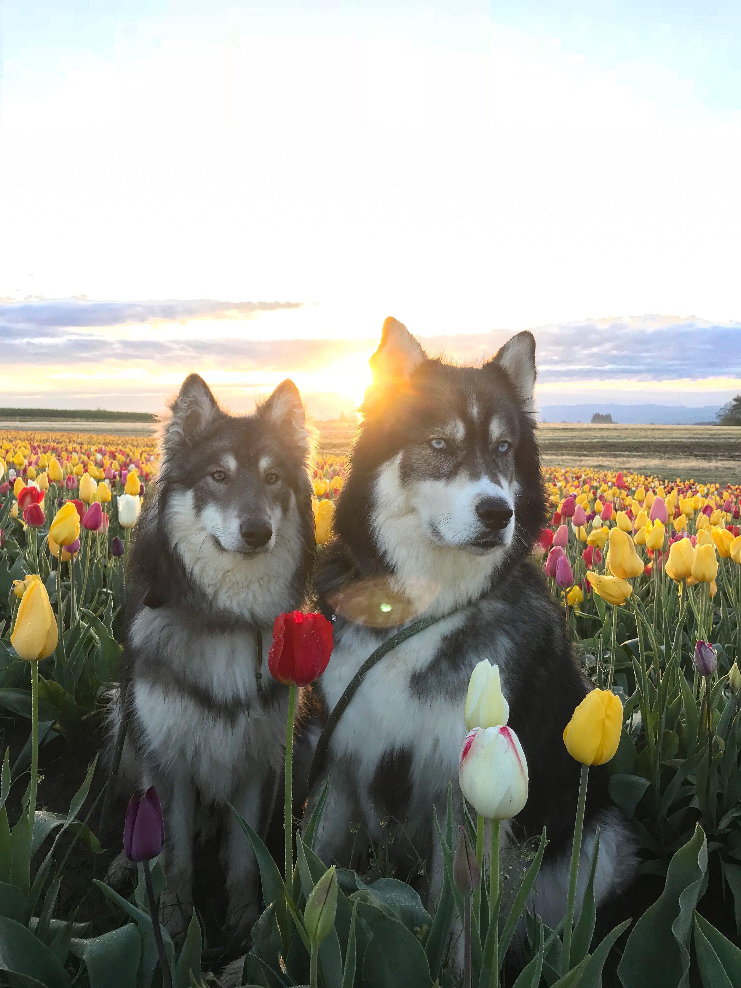 Sunrise at the tulip festival