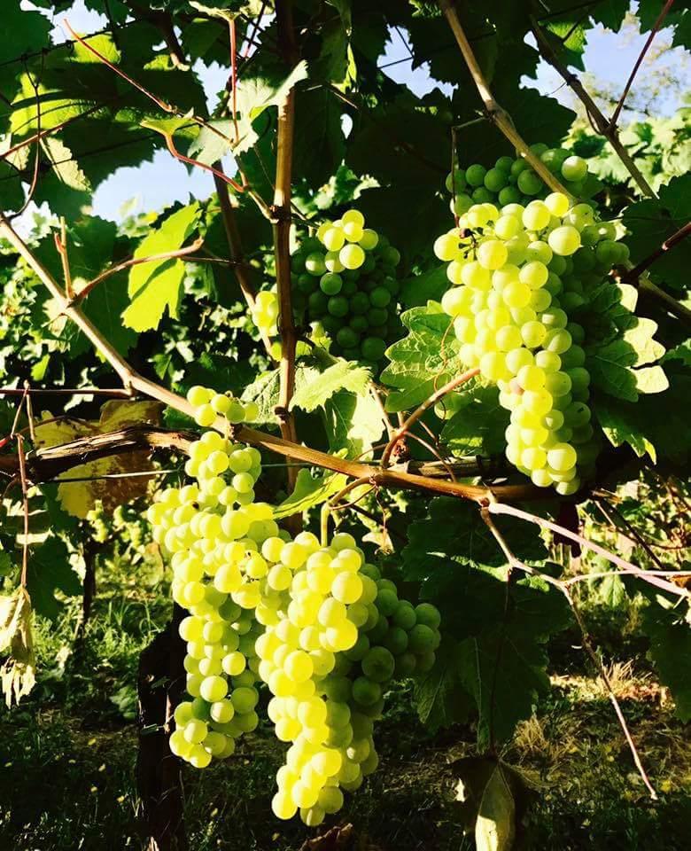 palazzo tronconi grapes