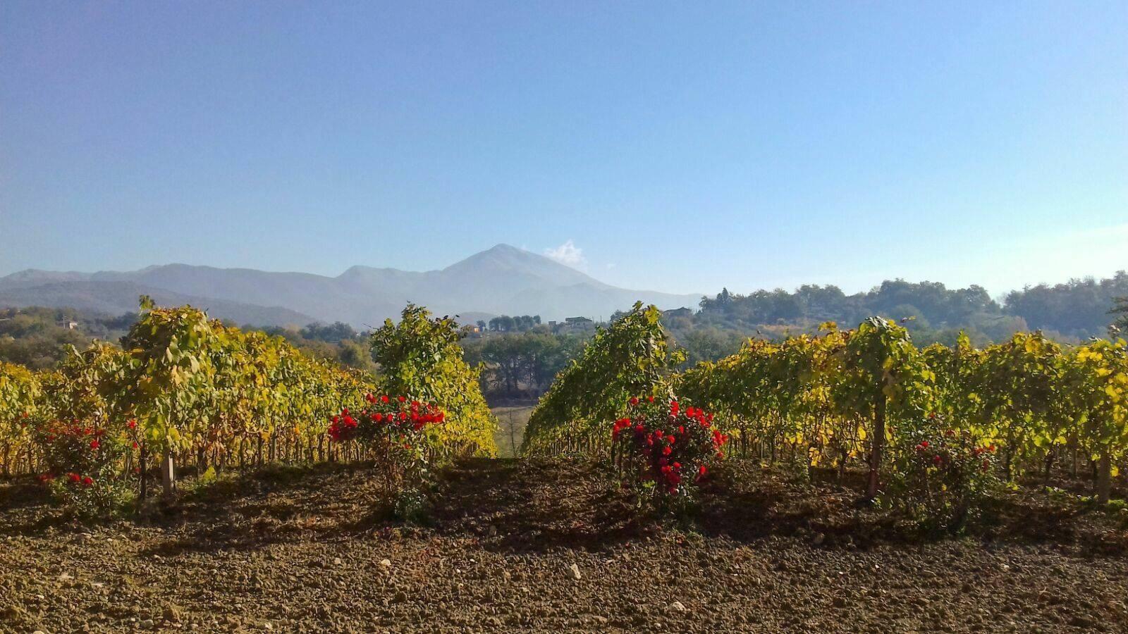 vineyard Lazio