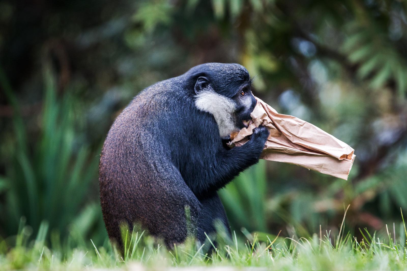 Hyperventalating Monkey