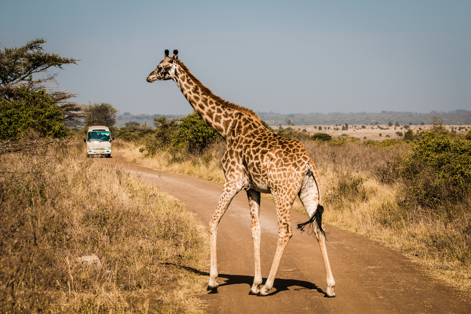 Giraffe Crossing up ahead, proceed with caution.