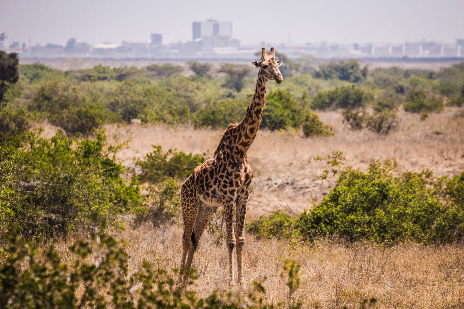 Girafffe with Nairobi Central Business District (CBD) in the background