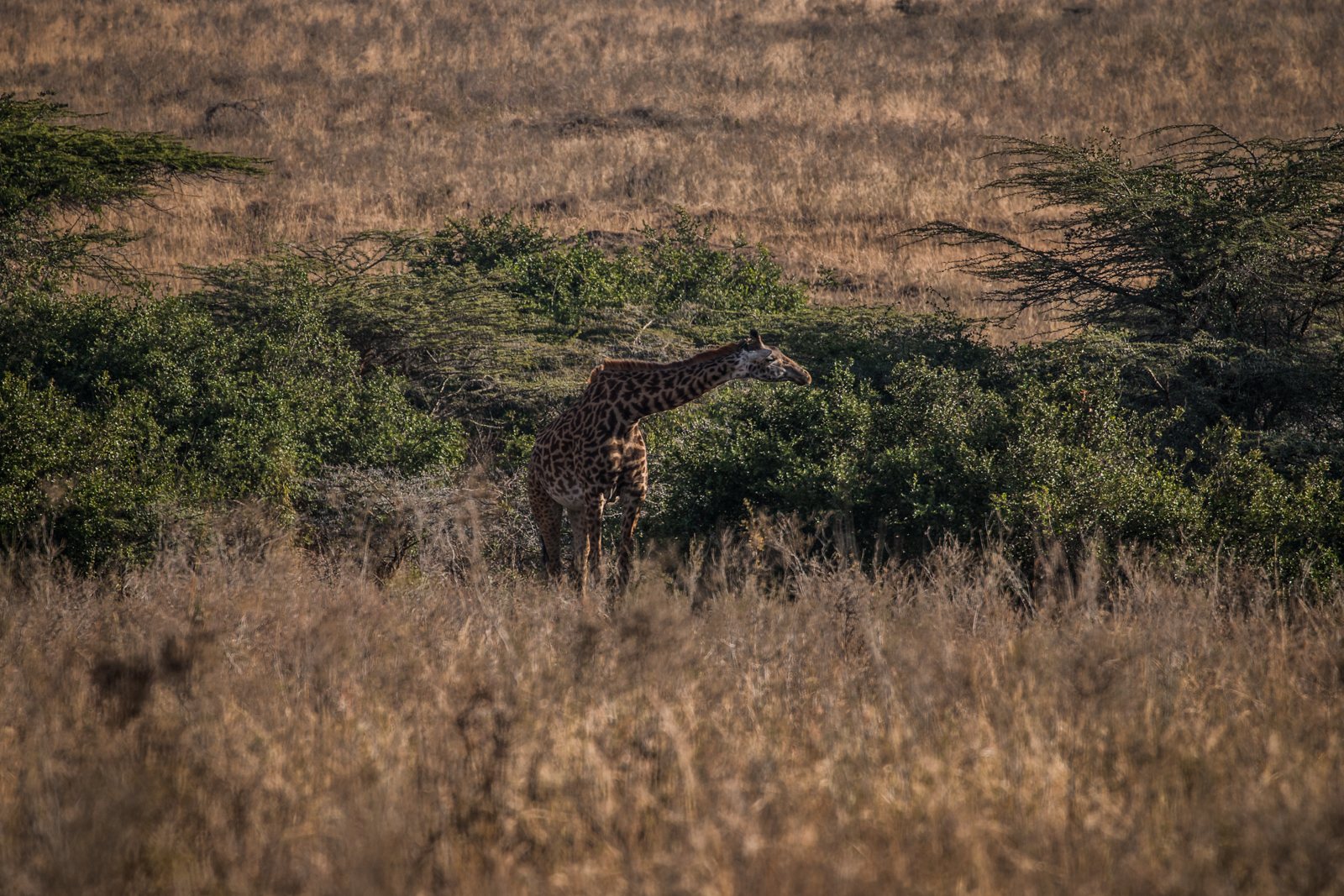 "Giraffe doing their best ""Gone with the Wind"" pose."