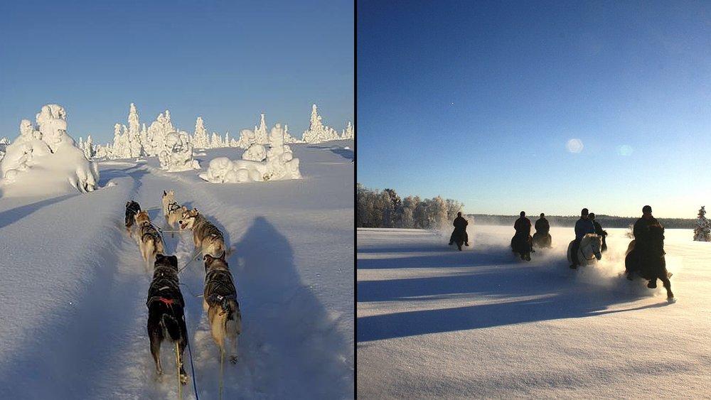 Hundesledding og ridning islandske hester