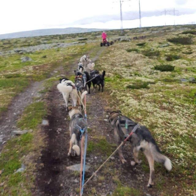 Vi digger litt kalde sommerdager😊💦 Også idag dro Leif Tore, Erik, Ronnie og Vilde til toppen av Birkebeinervegen. Lille Apollo nøyde seg med litt løping på graset😊🐾 #hundekjøring #visitlillehammer #visitsjusjøen #alaskahusky @sjusjoenhuskytours