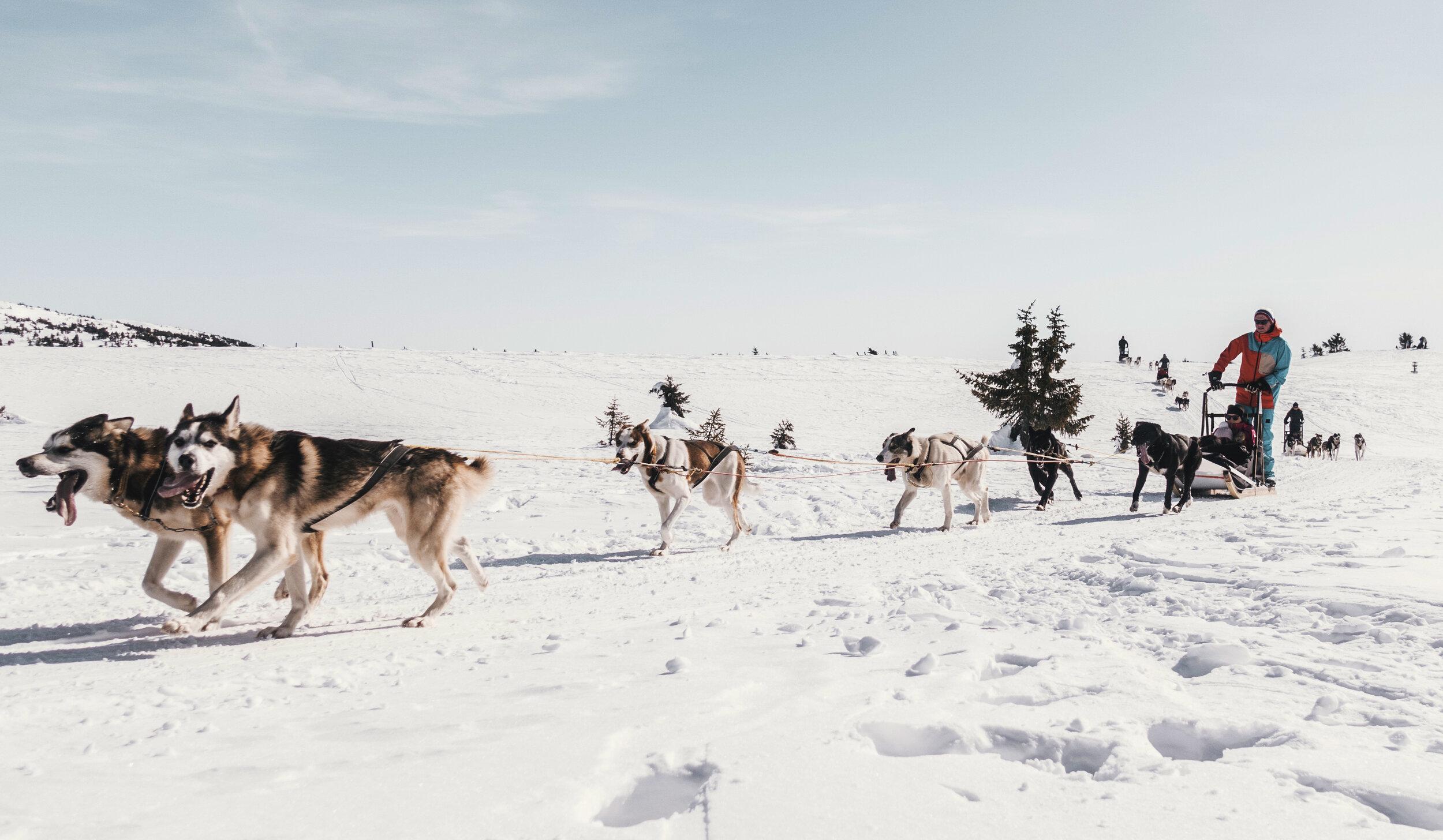 Pellestova hundekjøring