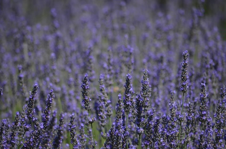 Lavender Kay.jpg