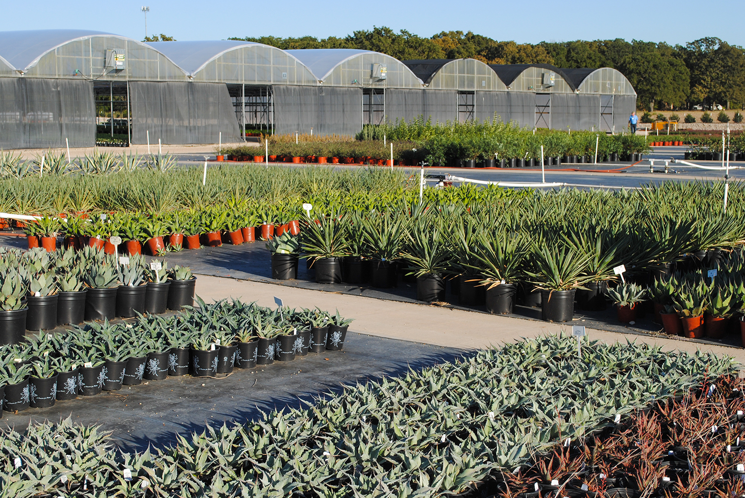 Green Lake Nursery also specialized in various hardy succulents and xeric perennials.