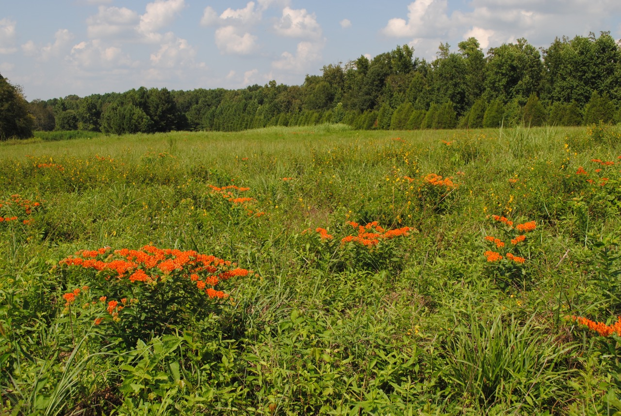 Asclepias tuberosa  flowers in an open field and provides food for Monarch caterpillars.