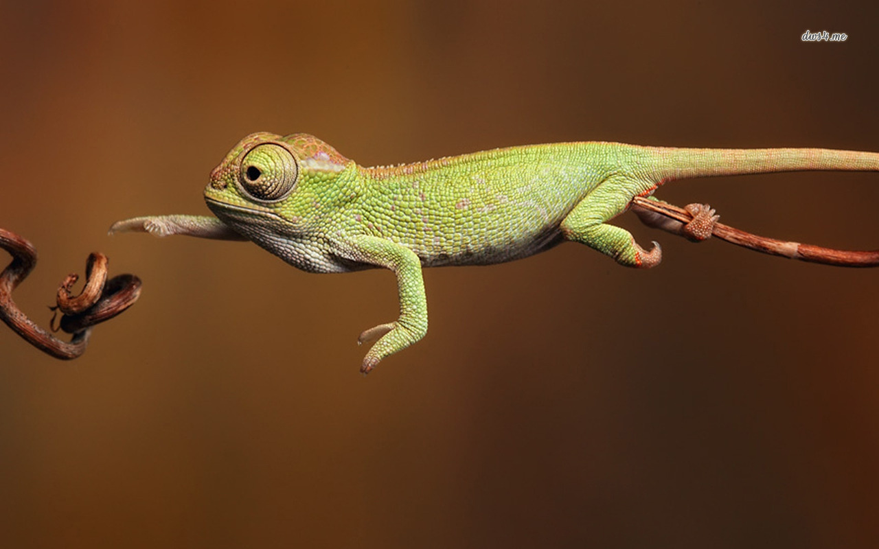 """The curious chameleon goes out on a limb…and stays there."""