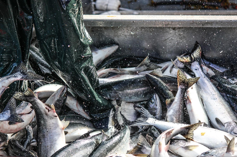YinYang-Fishing3-BCSalmon.jpg