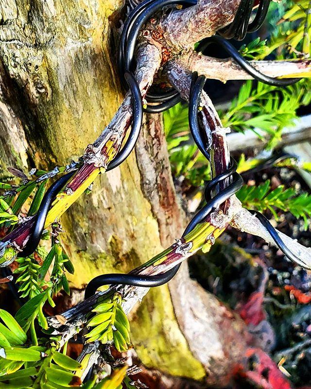Most trees have a long story to tell. #redwood #bonsai #yamadori #urbanyamadori #gobonsai #