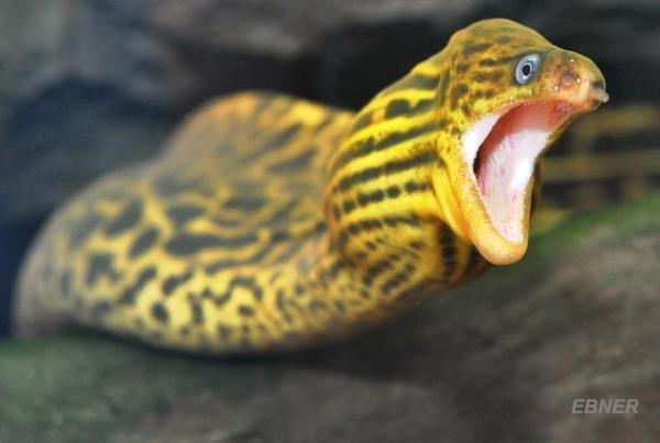 Freshwater Moray Eel courtesy of B. Ebner