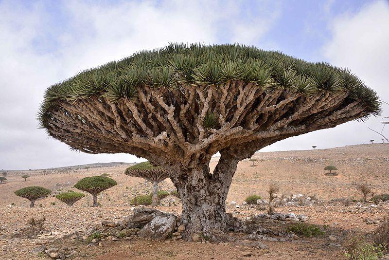 Dragon Blood Tree on Socotra. Source: Wikimedia Commons
