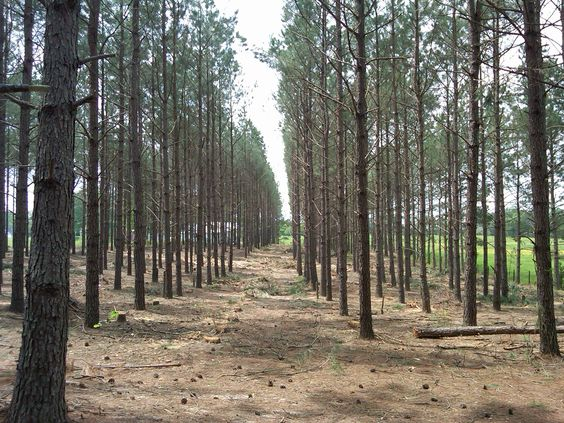 pre-timber-harvest-plantation-thinning-forestry-mulching-land-clearing