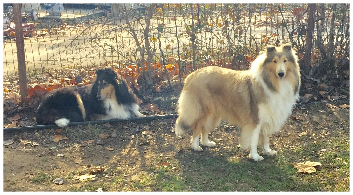 """Afterhours Cashmere Princess   Duchess' mom """"Gracie """"  with Sweet Pea 1/2 sister which has both majors already, needs 1 pt to finish"""