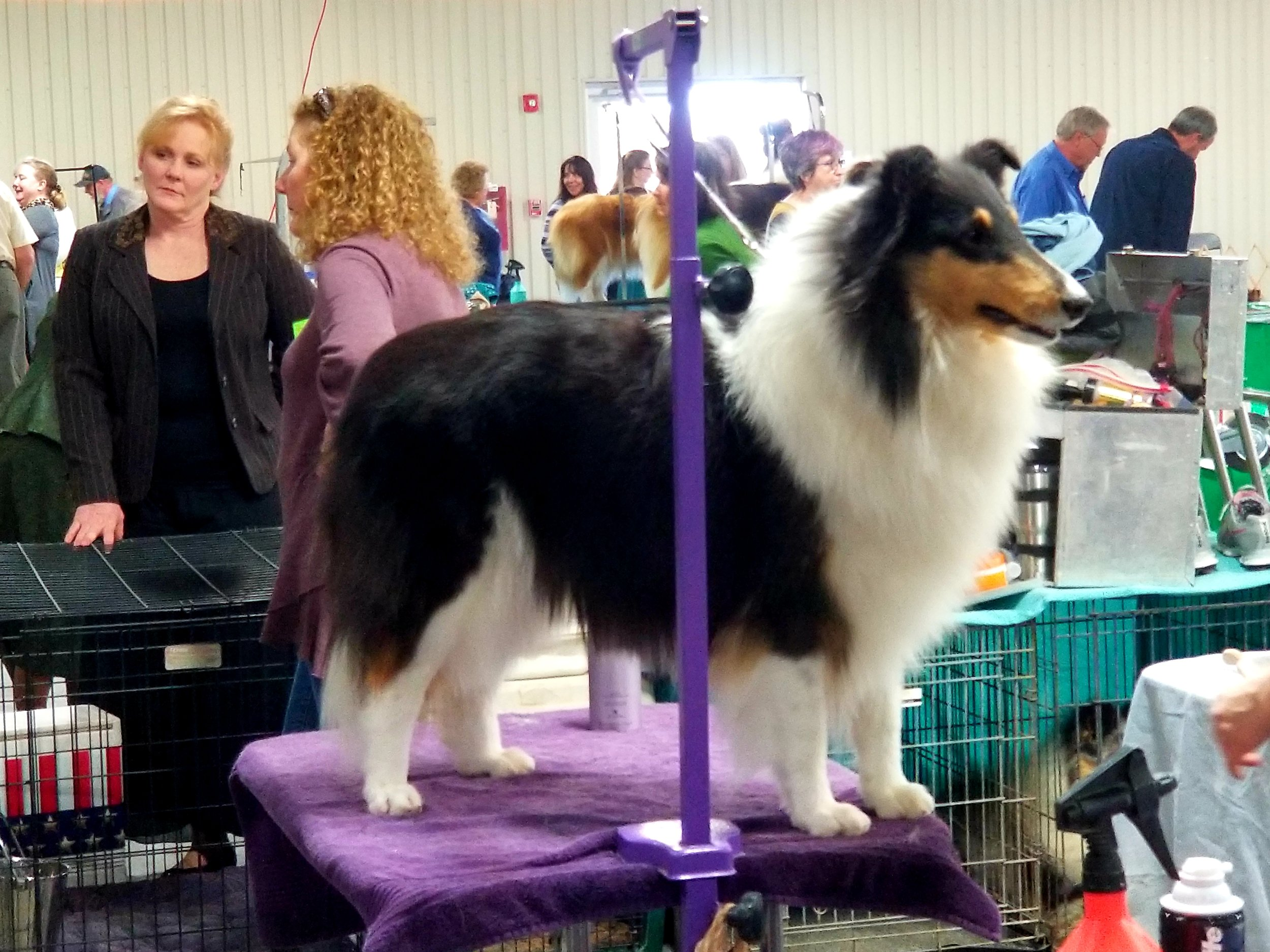 Duchess 2 1-2 yrs old Austin Collie Club Specialty Show Jan 5th and 6th won WB and BOW.jpg