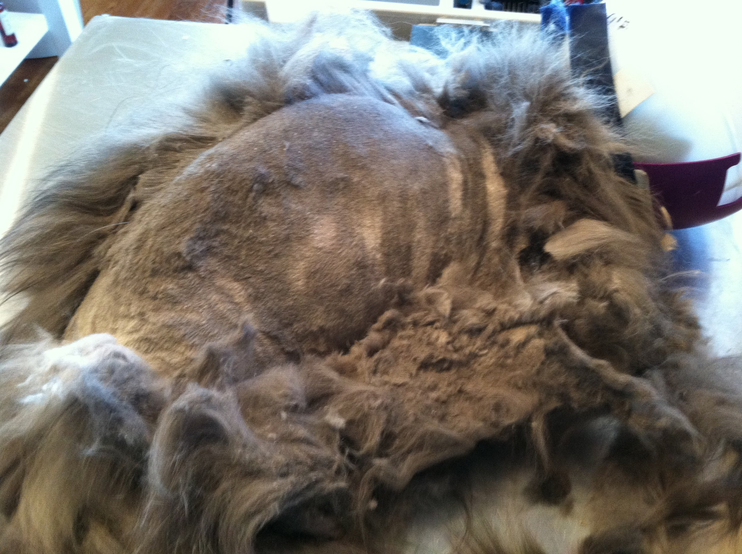 This Long-Haired cat is severely matted and shaving the cat into a Lion Cut is the only humane option