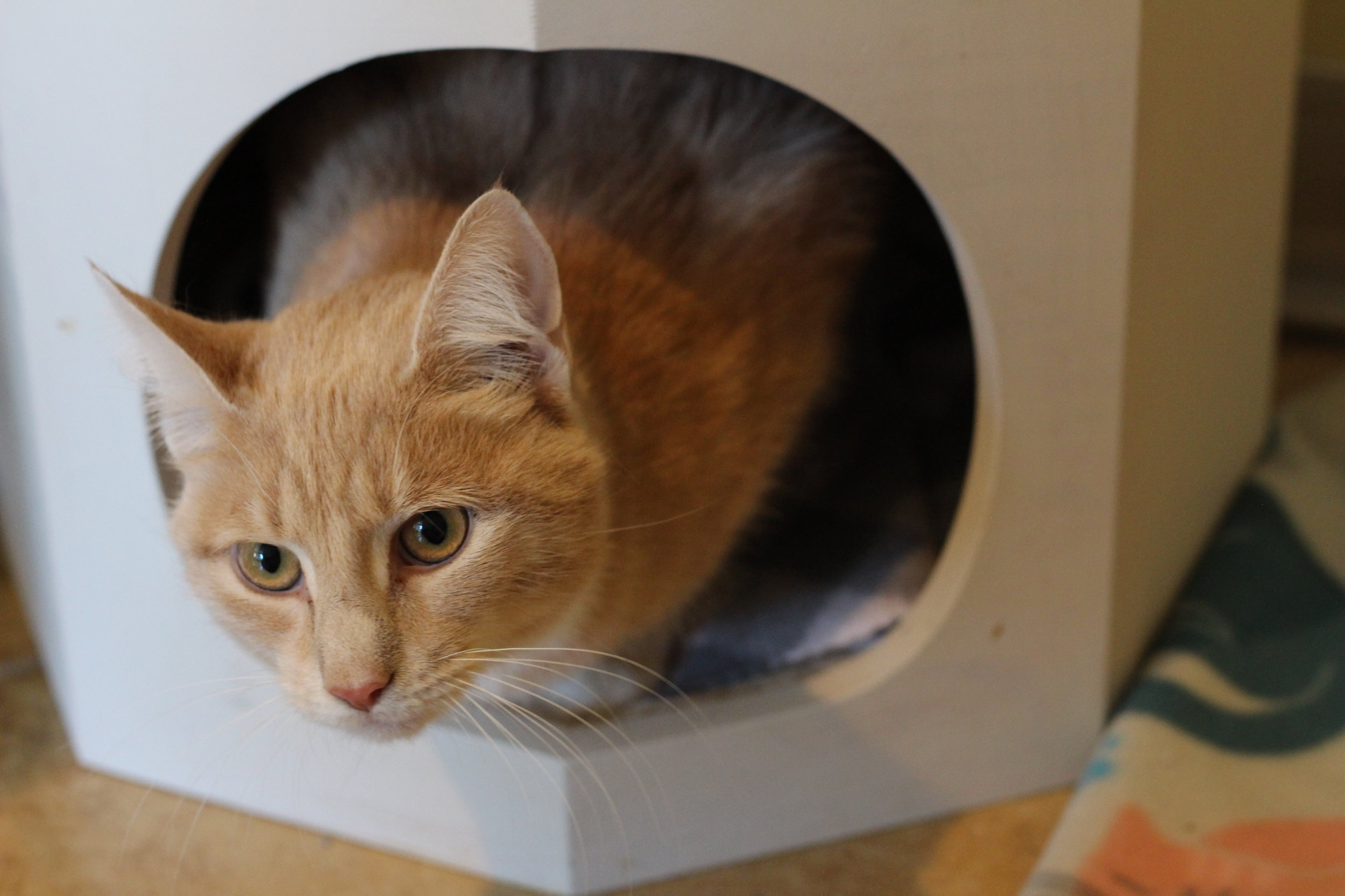 Shy kitties love peeking out from inside their cubby hiding spaces inside their room.