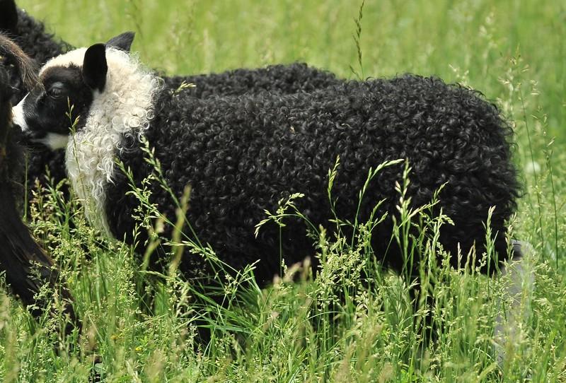 jasper's ram lamb