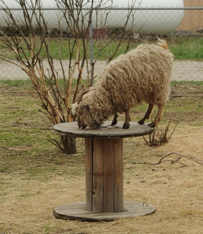 Yes, goats go everywhere.