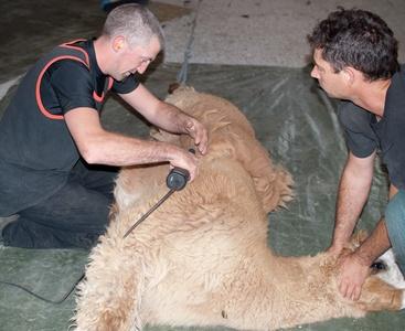 05-shearing the blanket.jpg