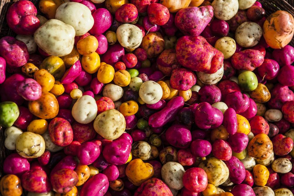 Colorful Peruvian potatoes