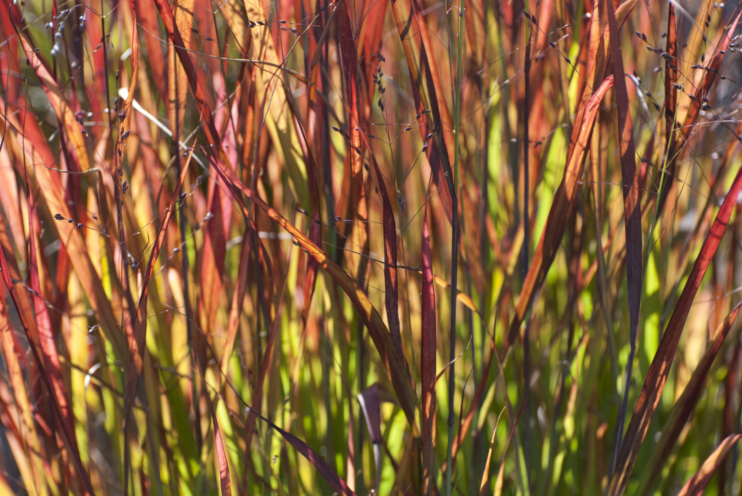 Japanese Grasses; Honorable Mention, The Oregonian Garden Photo Contest, 2008