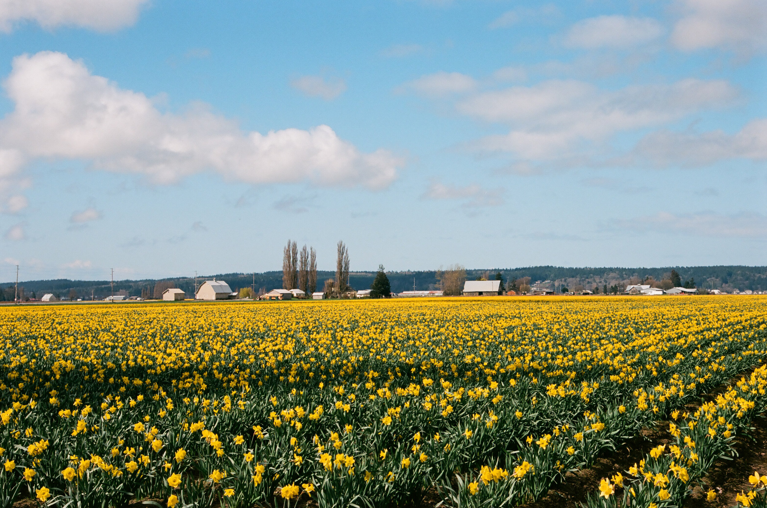 Daffodils, Mt. Vernon, Washington. Kodak Ektar 100