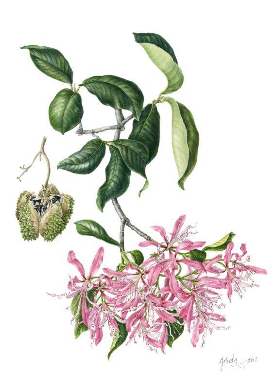 Cape Chestnut,  Calodendrum capense , watercolor on paper, ©Gillian Condy
